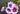 Weiß-pinke und lila Malvenblüten mit grünen Blättern auf dunklem Hintergrund