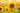 Naturaufnahme eines Sonnenblumenfeldes mit großer Bluete im Vordergrund im warmen Sonnenlicht