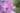 Rosafarbene Malvenblüten und grünem Hintergrund in Nahaufnahme