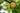 Ast eines Apfelbaums mit drei reifen Früchten