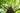 Großer Ginkgobaum mit dunklem Stamm und leuchtenden gruenen Blaettern von unten fotografiert
