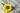 Einzelne große Sonnenblume mit Blaettern und Stengel auf grauem Holztisch