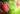 Roter Apfel mit grünen Blättern am Ast mit Tauwasser