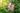 Rosafarbene Hibiskusblüte vor grüner Pflanzenhecke
