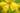 Naturaufnahme einiger leuchtend gelber Nachtkerzenblueten mit Wassertropfen in Nahaufnahme