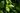 Grüne Teeblätter an Strauch mit Wassertropfen in Nahaufnahme